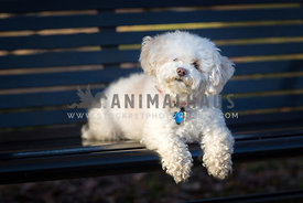 bischon on park bench portrait