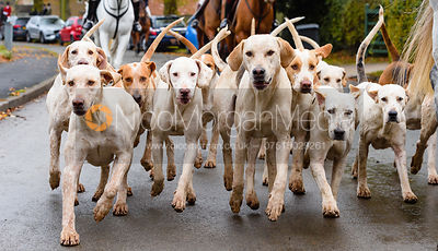 Cottesmore hounds. The Cottesmore Hunt at Braunston