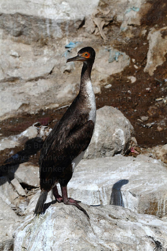 Immature Guanay cormorant (Phalacrocorax bougainvillii) on guano covered rock
