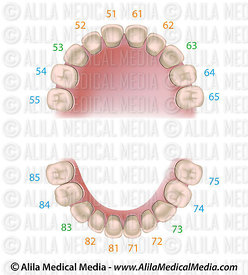 Dental notation milk teeth