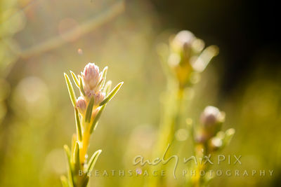 Tiny indigenous fynbos flower and leaves backlit by sunlight, other flowers blurred in background. (Close-up macro view)