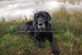 Older, senior, retired Labrador REtriever dog, lying down in grass next to pond with stormy skies and fall trees reflected in...