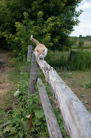 tabby cat moving along fence