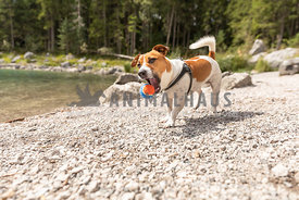 A jack russell dog catching a ball by a forest lake