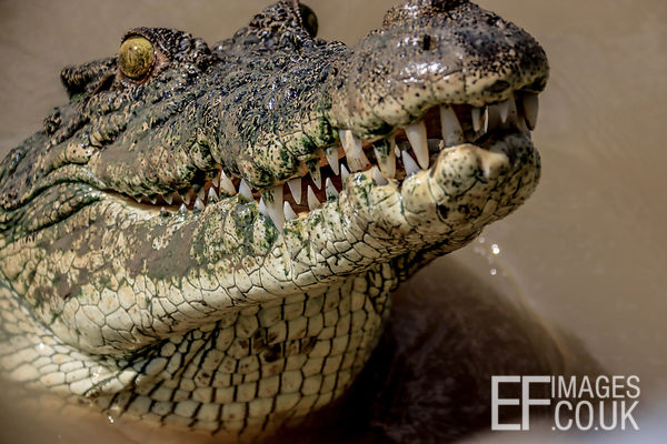 Salt Water Crocodile Head Coming Out Of The Water