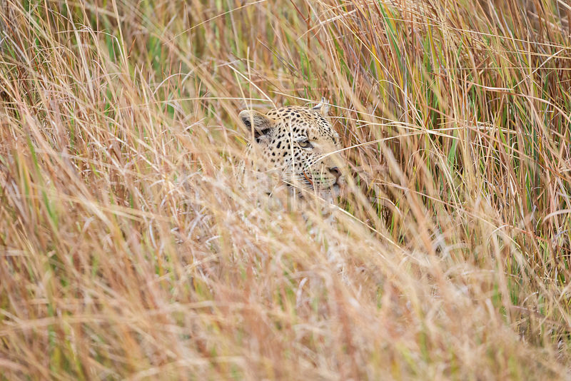 Front View of a Male Leopard Blending in with Tall Grasses