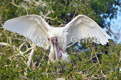 African Spoonbills (Platalea alba) mating, River Chobe, Botswana: Image 1 of 3 to show the wings of the male in different pos...