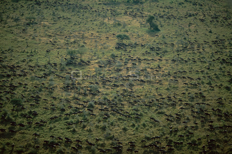 Aerial view of Wildebeest herd on migration {Connochaetes taurinus} Serengeti NP, Tanzania