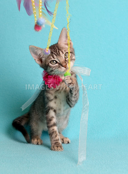 female tabby kitten on blue fabric
