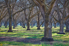 Walnut Orchards #3