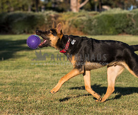 German shepherd mix dog chasing and biting ball