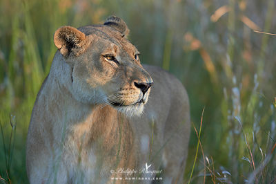 Lioness in dappled light