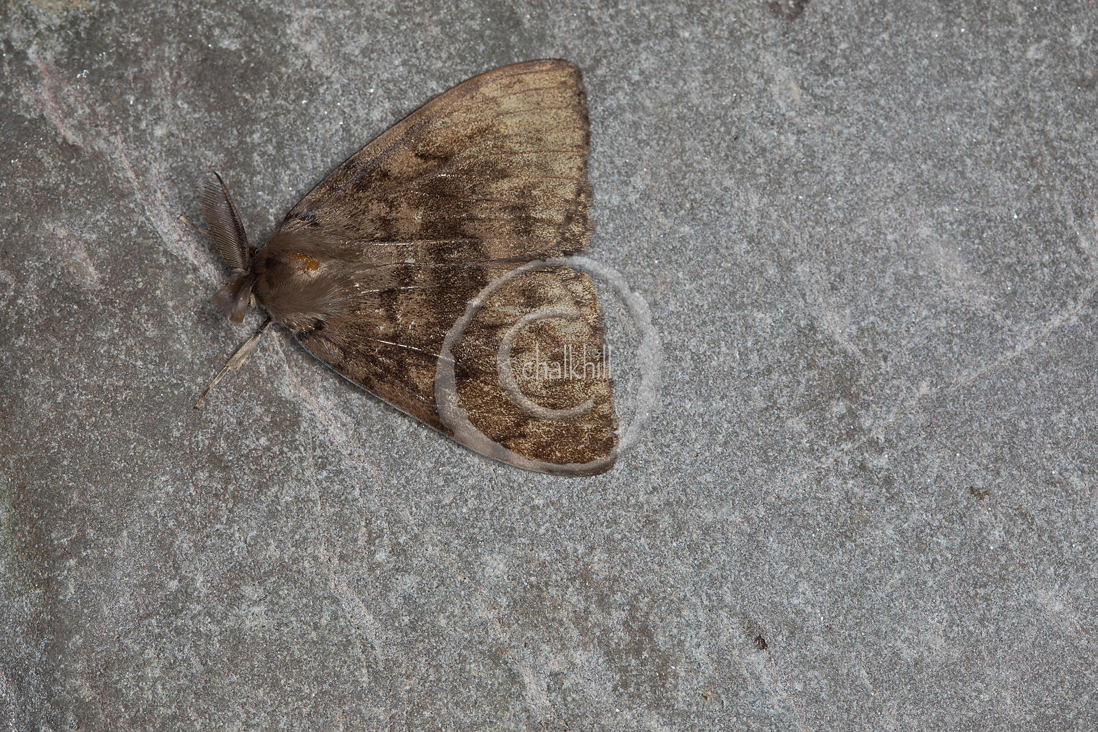 [Lymantria dispar [72.011] Gypsy Moth]-[GBR-Flatford Mill]