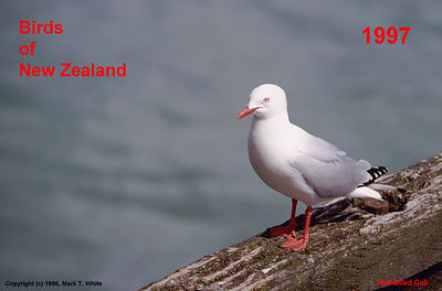 Front Cover - Red-billed Gull