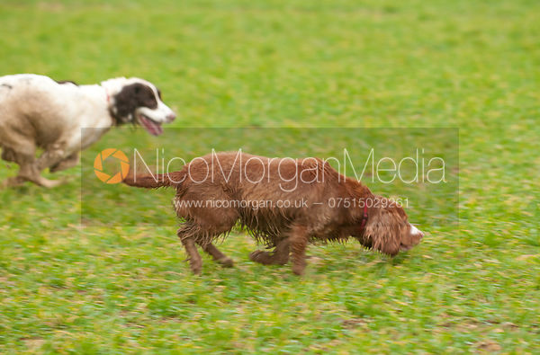 A gun dog on a game shoot
