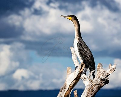 White-Breasted Great Cormorant