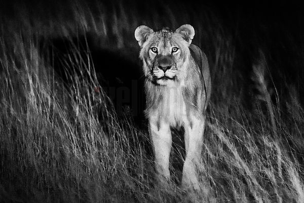 Young Male Lion at Night