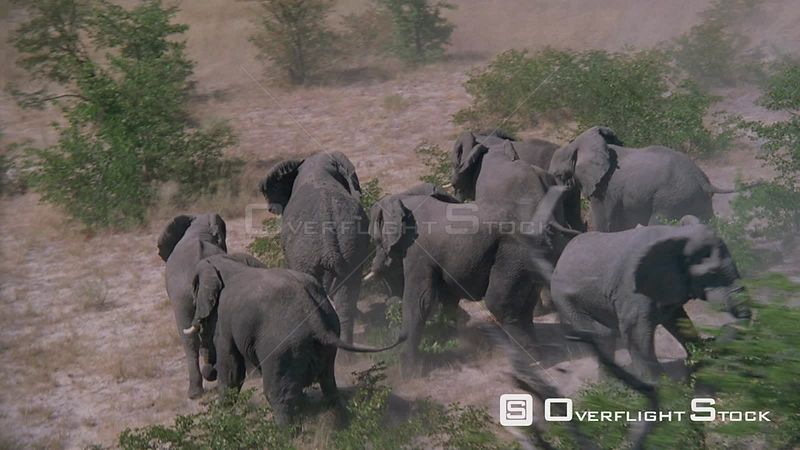 Aerial herd of half wet elephants confused and frightened running away in bushveld Zimbabwe