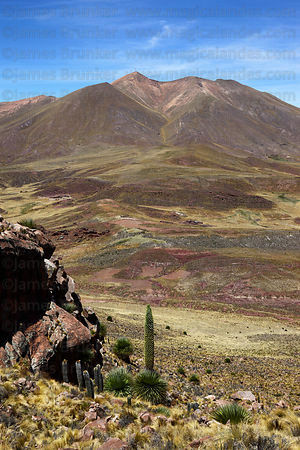 Puya raimondii in flower and Cerro Pachekhalla, near Comanche, Bolivia