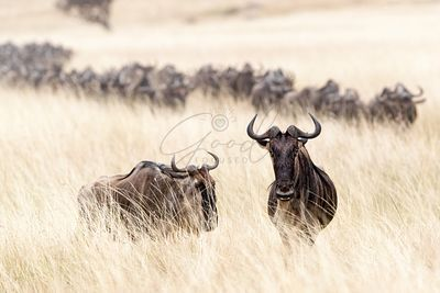 Wildebesst in Tall Grass Field in Kenya