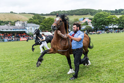 WELSH COBS RUNNING OF THE STALLIONS