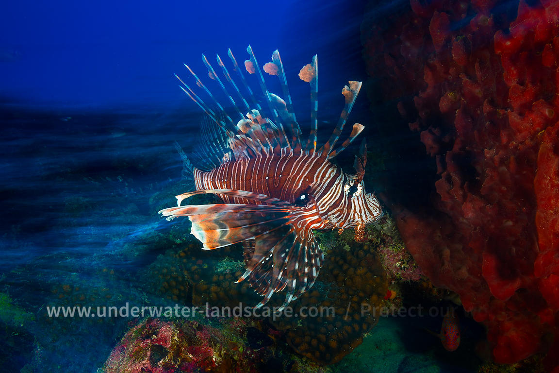 Speed Lion Fish