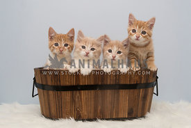 four orange kittens in wooden tub
