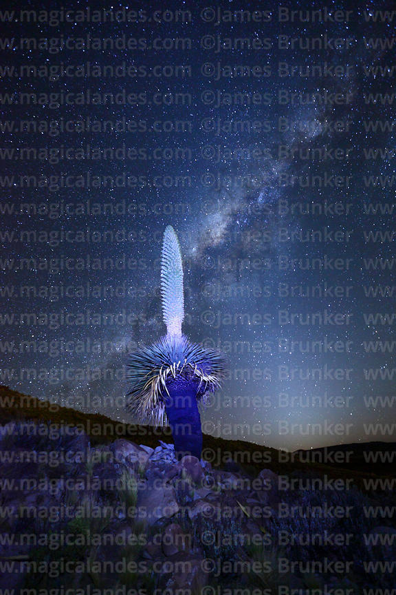 Puya raimondii in flower with Milky Way Galactic Centre and Zodiacal Light, Bolivia