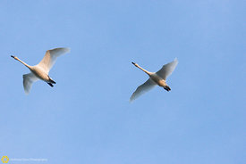 Tundra Swans in Flight #3