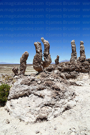 Fossilised cacti on shore of Salar de Uyuni at Aguaquiza, Nor Lipez Province, Potosí Department, Bolivia