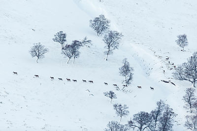 Red Deer (Cervus elaphus) line of hinds and young stags walking across snow-covered hillside, Scotland, UK.