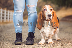 a basset hound with his human's legs