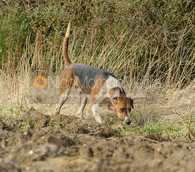 Belvoir hounds working the trail - The Belvoir at Burton Pedwardine