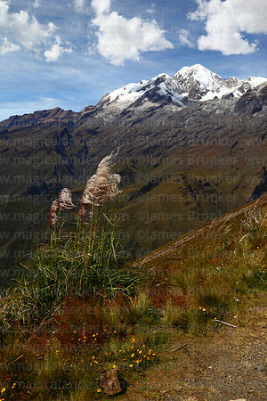 Cortaderia jubata pampas grass and Mt Illampu, Cordillera Real, Bolivia