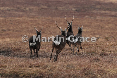 Four Sika Deer (Spotted Deer, Japanese Deer) (Cervus nippon) running away, showing the distinctive black-bordered white rump ...