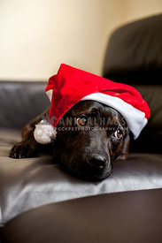 Black staffy lying on leather sofa wearing Santa hat looking sad