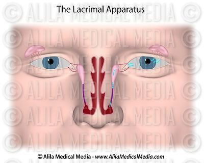 The lacrimal gland, unlabeled.