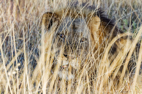 Male Lion Camouflaged in Long Grass