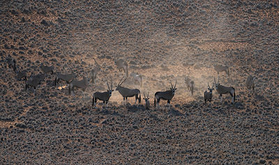 Gemsbok (Oryx gazella) aerial view of herd on dusty plain taken from a helicopter, Sossuvlei Namibia.
