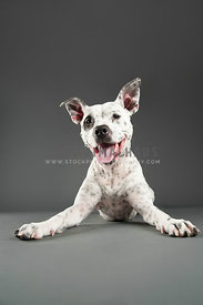 black and white spotted pitbull laying facing camera smiling on grey
