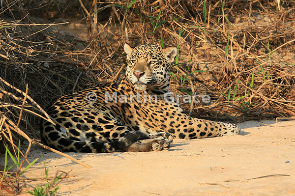 Female Jaguar 'Hunter' (Panthera onca) rests by Three Brothers River, Northern Pantanal, Mato Grosso, Brazil. Image 35 of 62;...