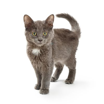 Small Grey Kitten Standing on White