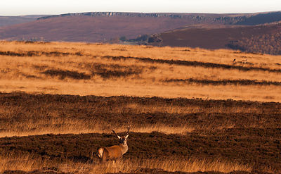 Red stag on Big Moor with Stanage Edge