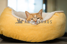 ginger cat with head on side of yellow bed
