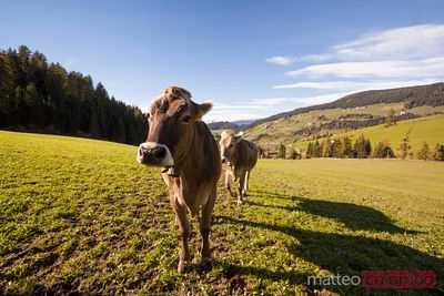 Cow looking at camera in a valley in the italian alps
