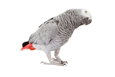 African Grey Parrot tilting head