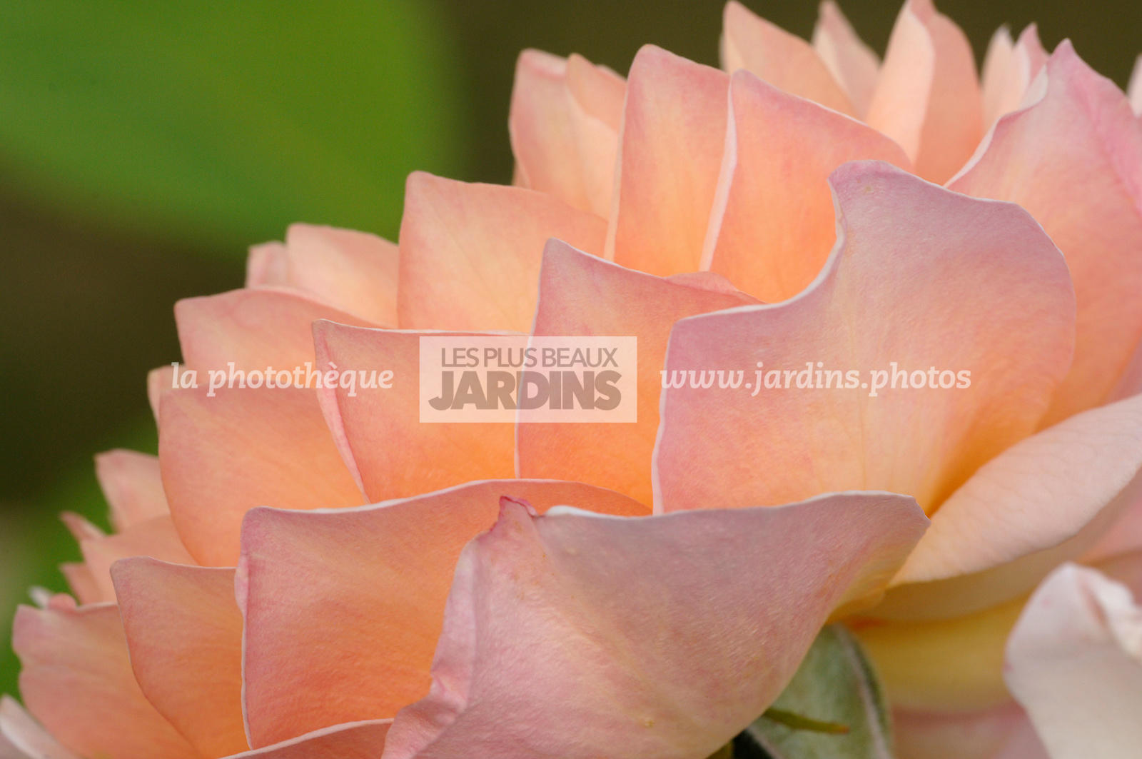 Digital, English rose, Obtentor, Perpetual rose, Rose bush
