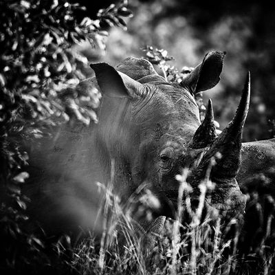 4287-White_rhino_through_the_grass_Laurent_Baheux