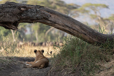 Lion Cub Watches a Herd of Wildebeest