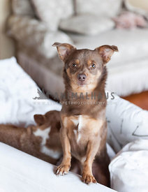 Brown and Tan Chihuahua standing on a sofa or couch